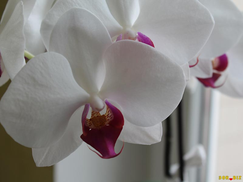 Орхидея цветок значения